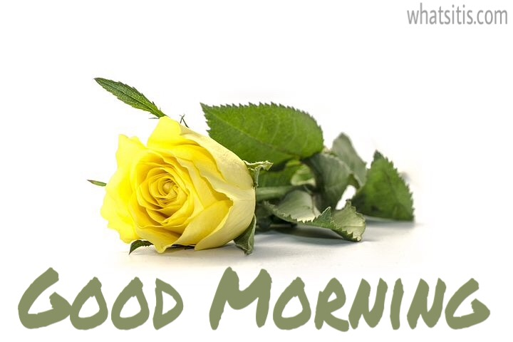 Good morning friends images with yellow rose flower
