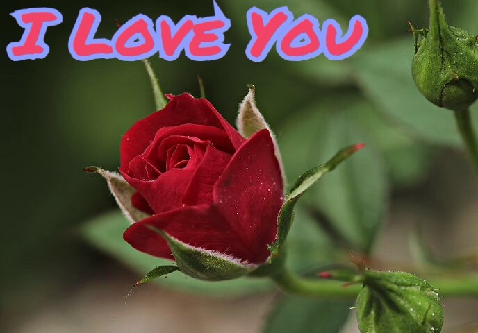Red rose image with I love you