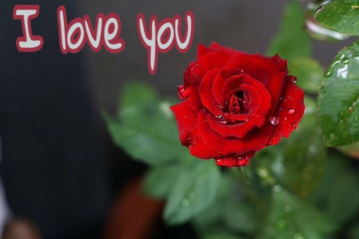 Redrose i Love You image