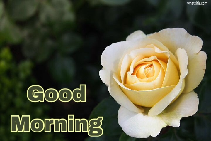 Good morning images with flowers hd of rose