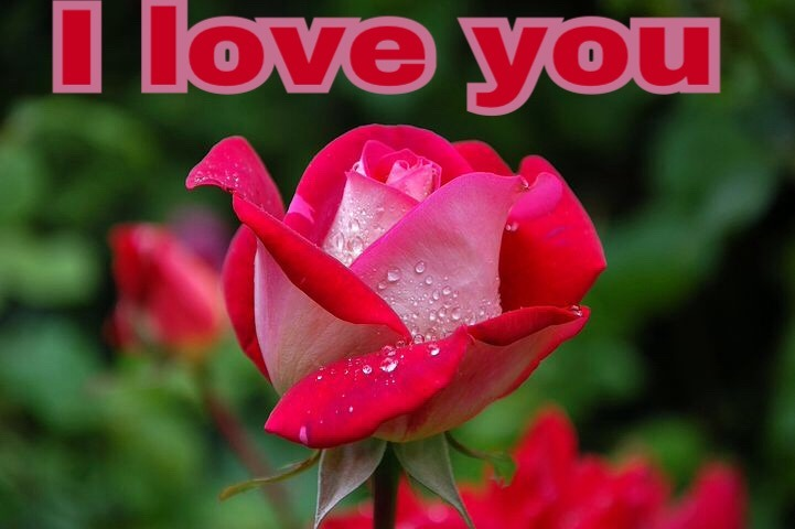 Rose image with love qSweet I love you rose image download uotes