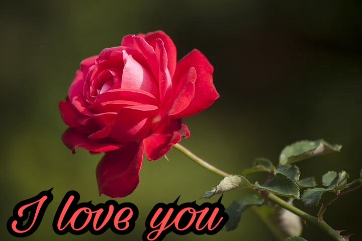 Romantic red rose for love