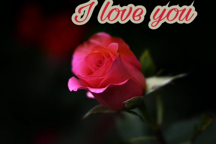 Red rose With I love you Msg