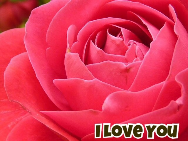 50+ Roses Images With i Love You Messages