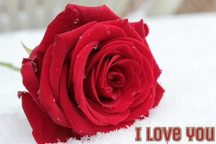 Valentine's Day special rose love image