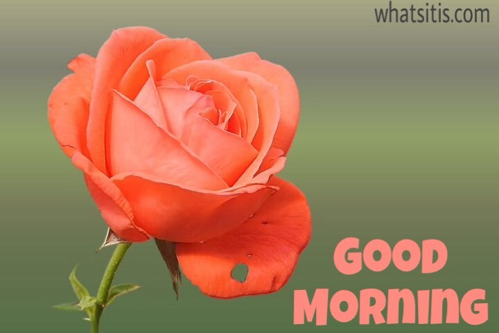 Good morning images with flowers hd rose