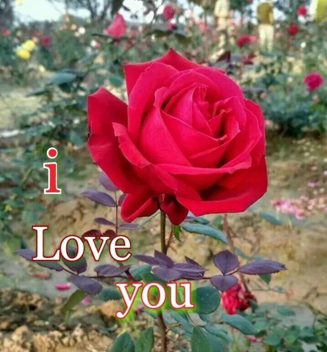 Red rose love whatsapp dp download