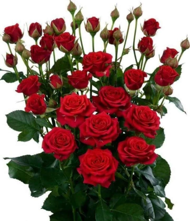 Red rose dp whatsapp
