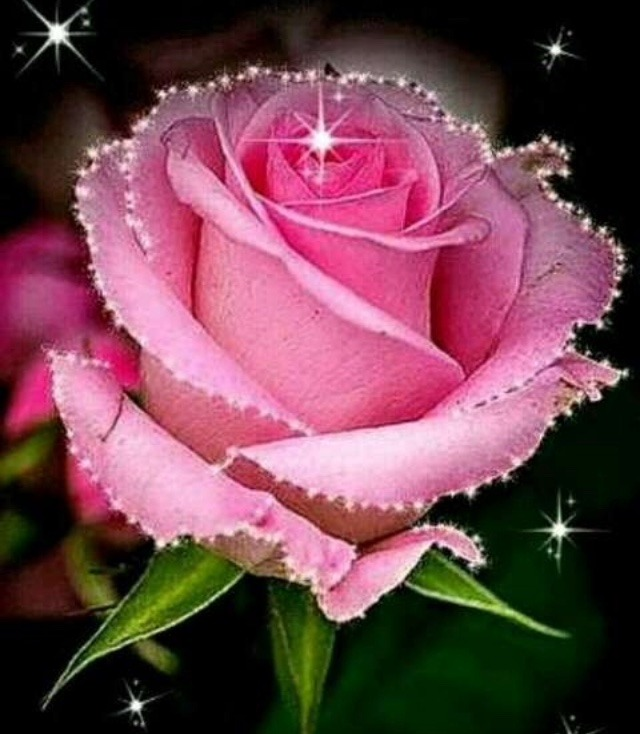 Pink rose for girlfriend | Rose day special rose