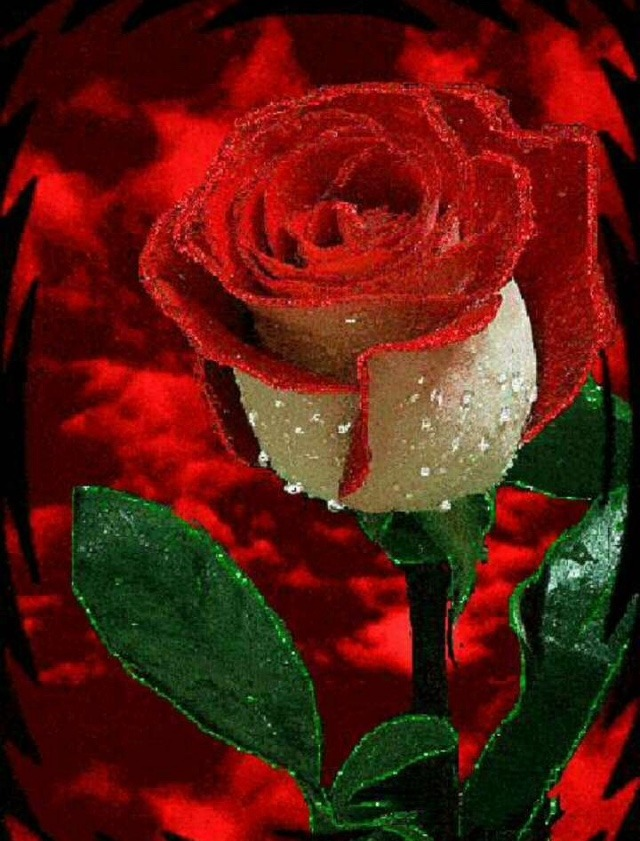 Most beautiful rose flower status for whatsapp