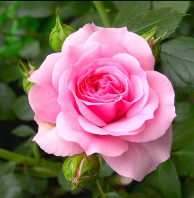 Pink rose image download for fb and Whatsapp