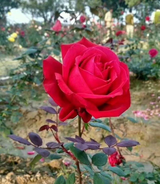 whatsapp dp rose flowers